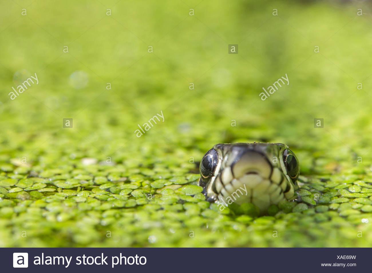 grass snake (Natrix natrix), surfacing between duckweeds, portrait, Germany, Bavaria, Niederbayern, Lower Bavaria - Stock Image