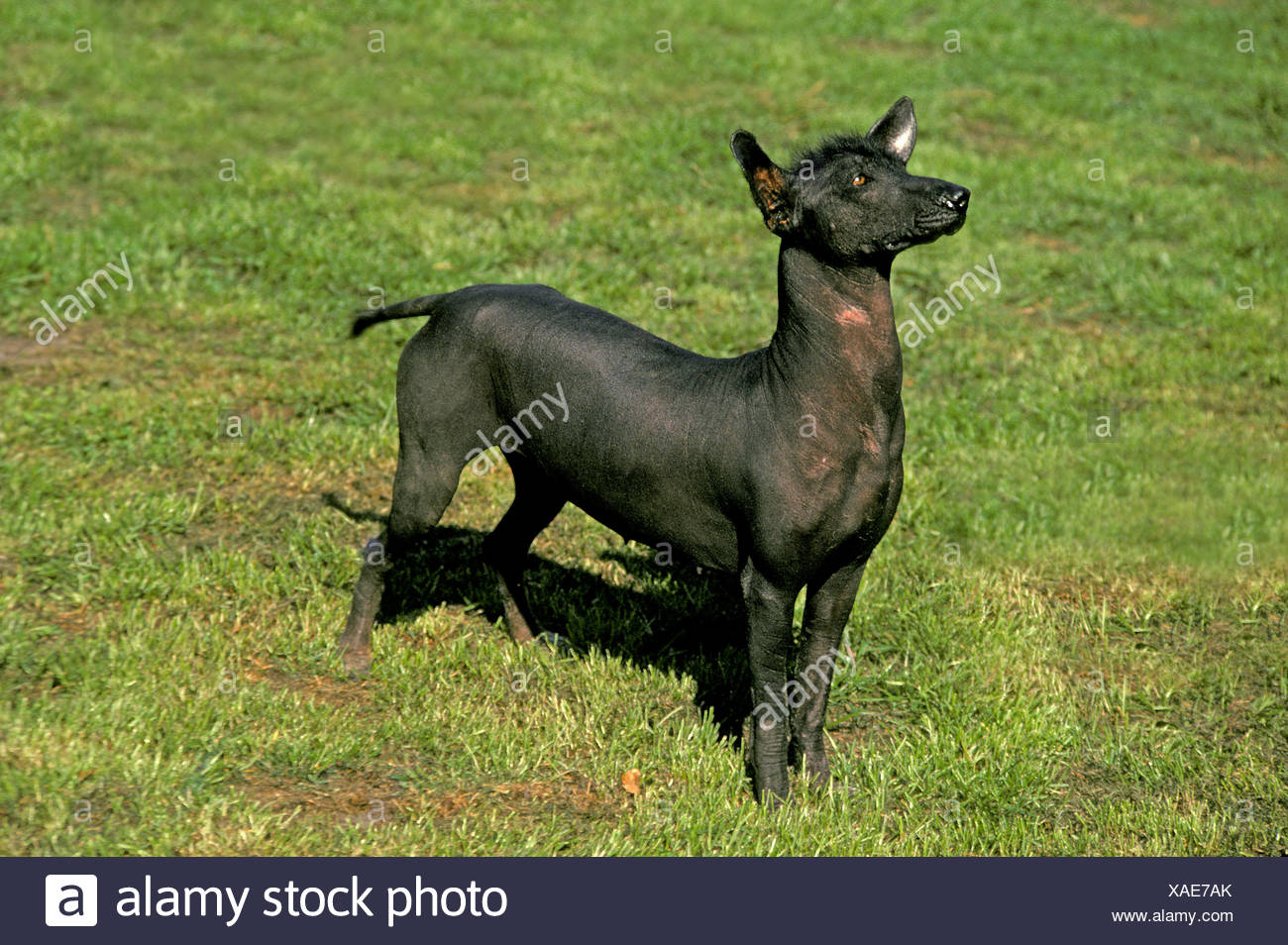 Mexican Hairless Dogs Stock Photos & Mexican Hairless Dogs
