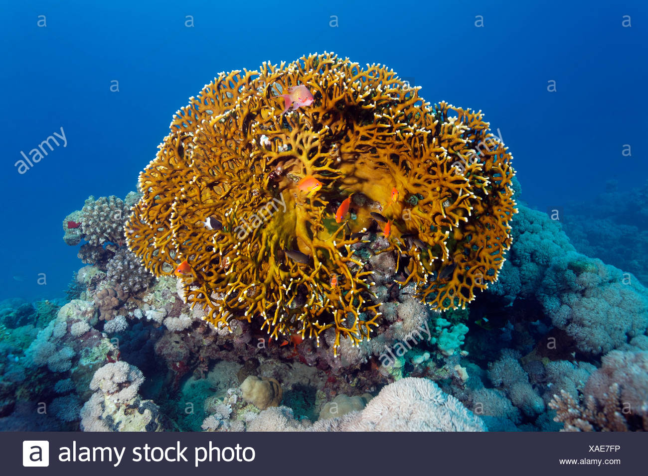 Coral reef with Net Fire Coral (Millepora dichotoma), Makadi Bay, Hurghada, Egypt, Red Sea, Africa - Stock Image