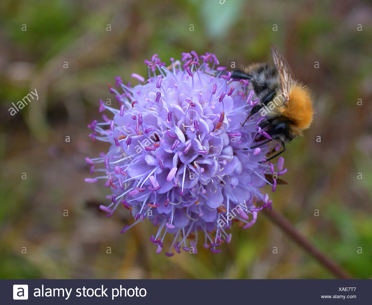 devil's-bit scabious, devil's-bit (Succisa pratensis), inflorescence with bumble bee, Germany - Stock Image