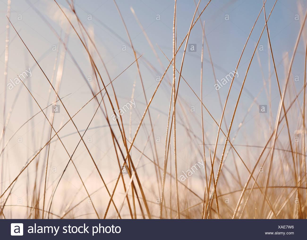 Sea grasses on Long Beach Peninsula, on the coast of Washington state. Stock Photo