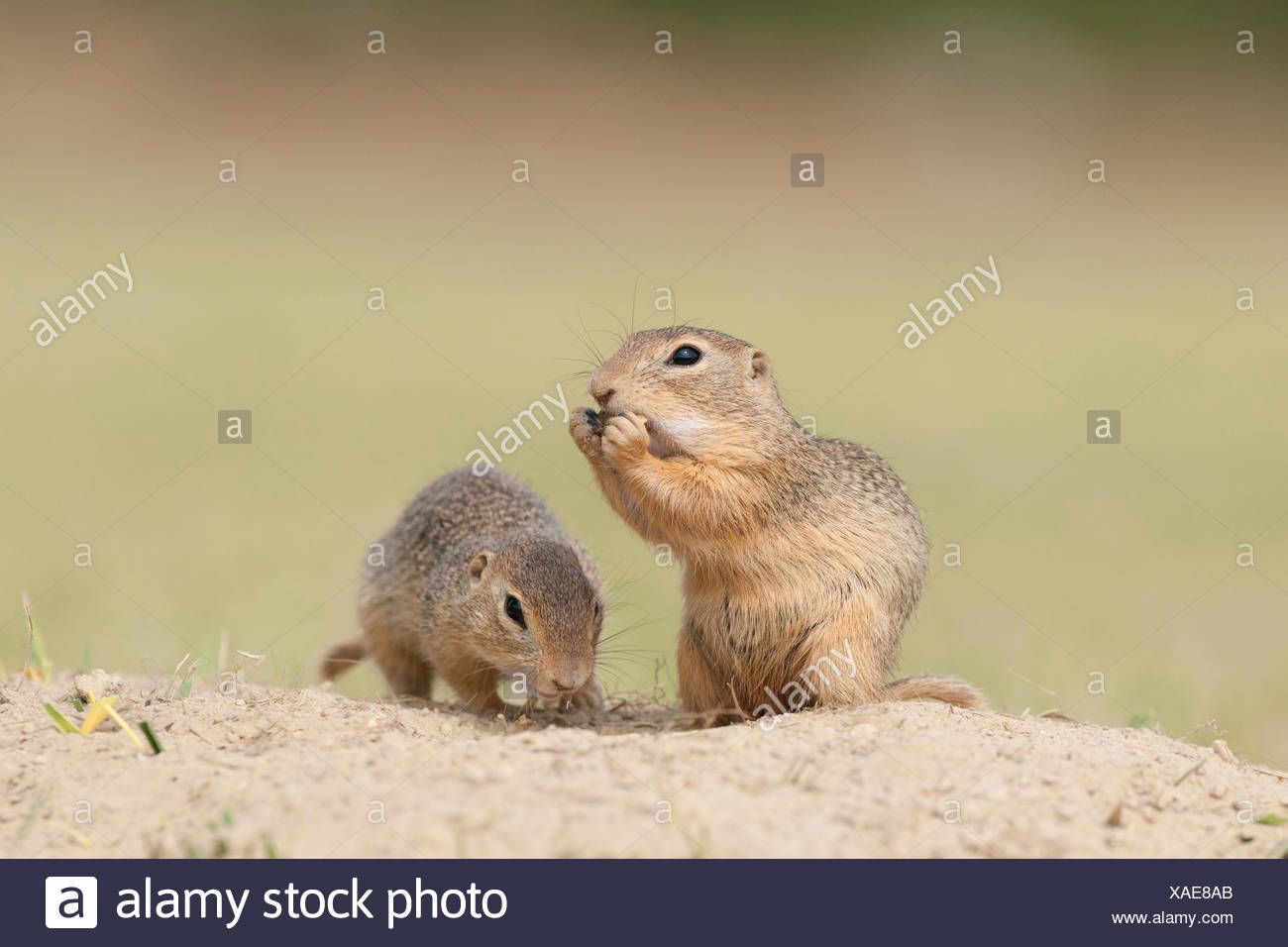 Two European Ground Squirrels or European Sousliks (Spermophilus citellus), Seewinkel, Burgenland, Austria Stock Photo