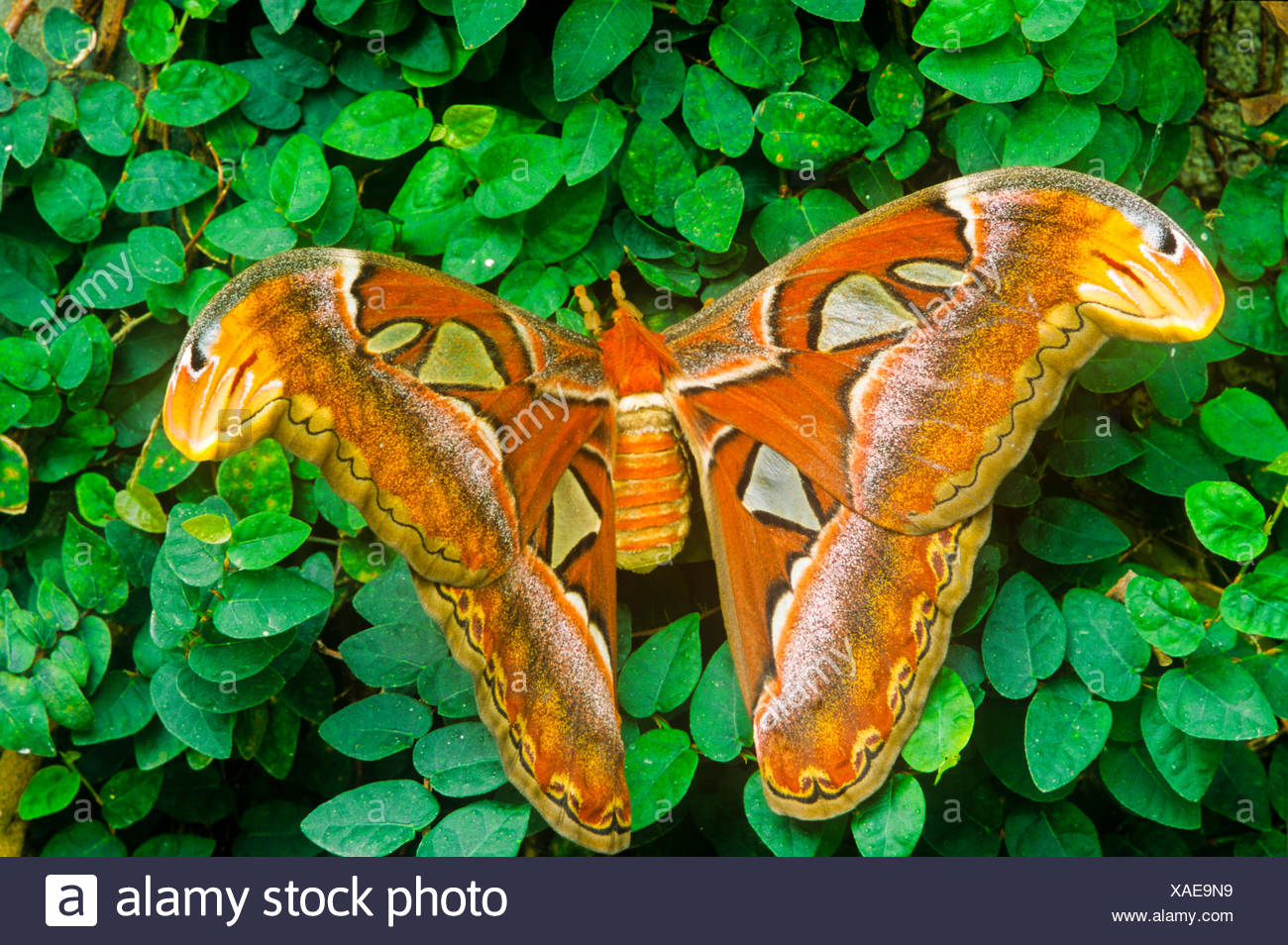Adult Atlas Moth, (Attacus atlas), dorsal view - Stock Image