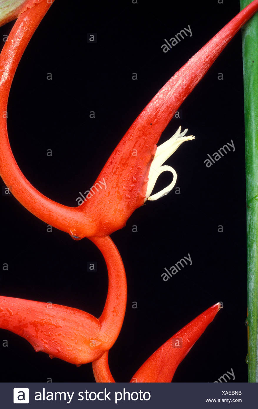 Detail of a bract and flower of Heliconia pendula, also known as Roseo-pendula, against a background of black - Stock Image
