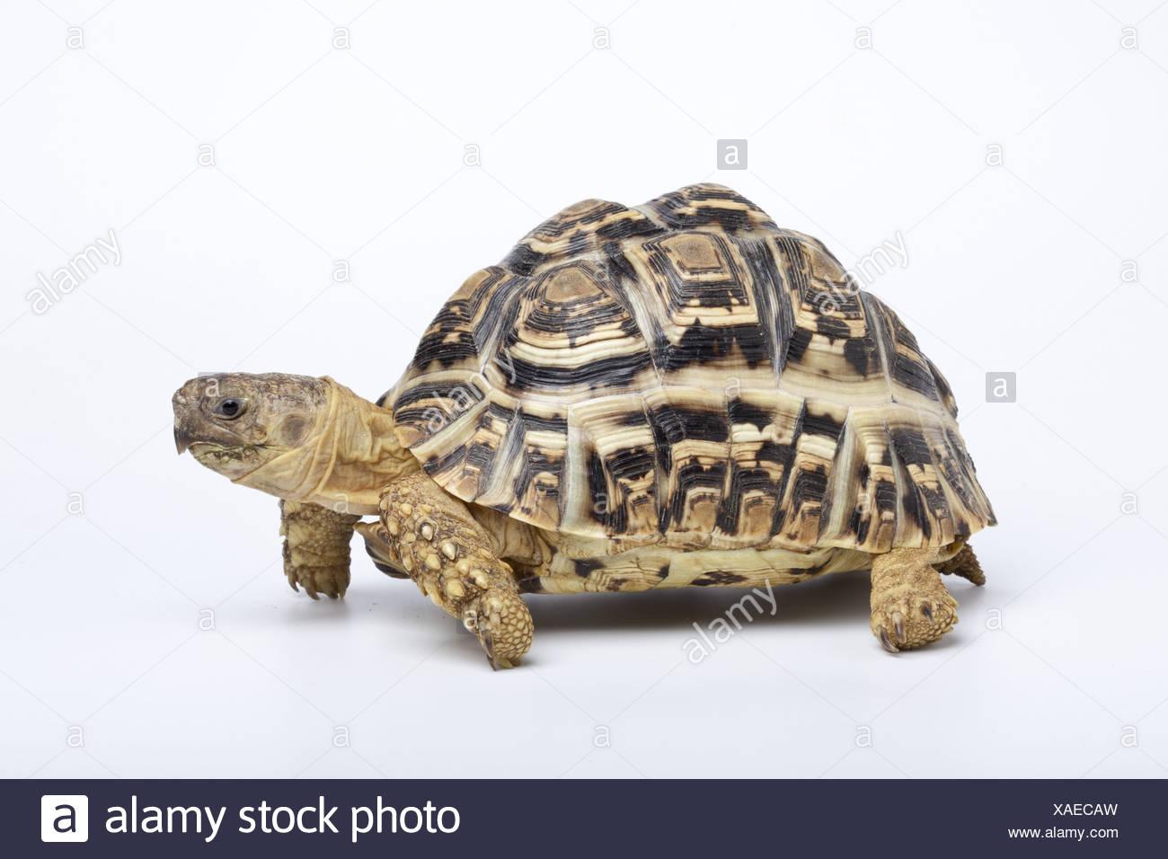 Leopard Tortoise (Stigmochelys pardalis) adult - Stock Image