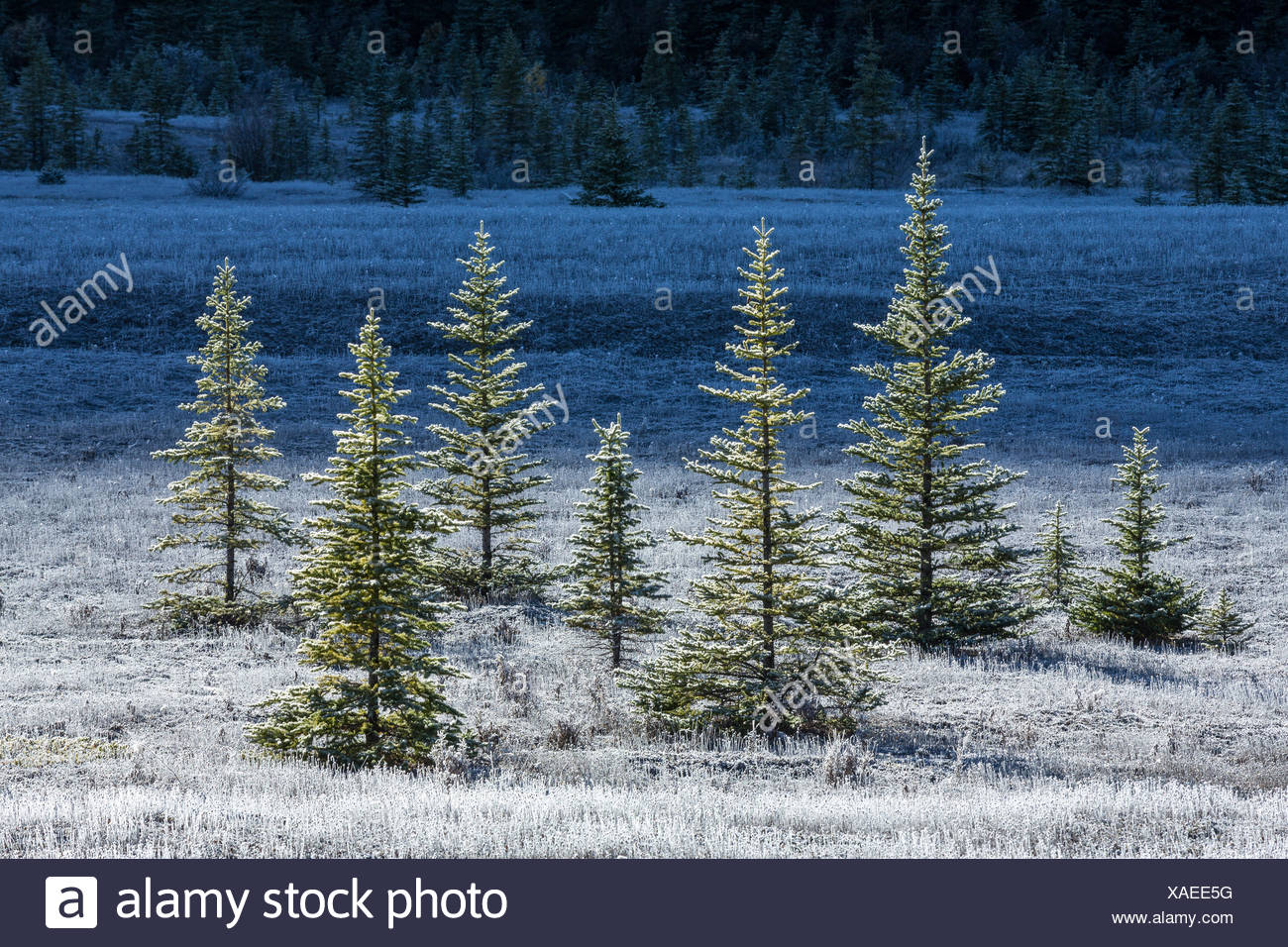 Morning frost, Sunwapta River Flats, Jasper National Park, Alberta, Canada - Stock Image
