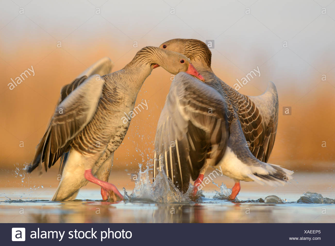 Greylag geese (Anser anser), territorial fight, two dominant males, Kiskunság National Park, Hungary Stock Photo