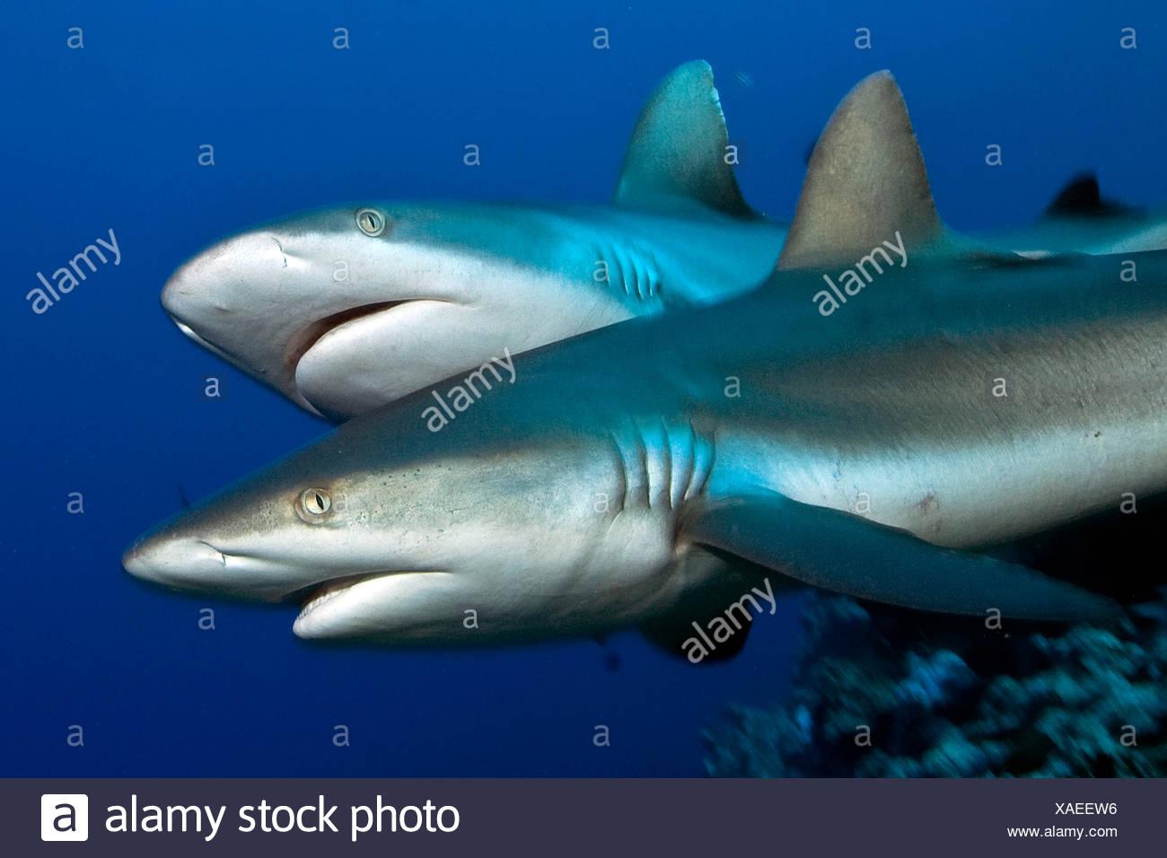 longnose blacktail shark stock photos longnose blacktail shark