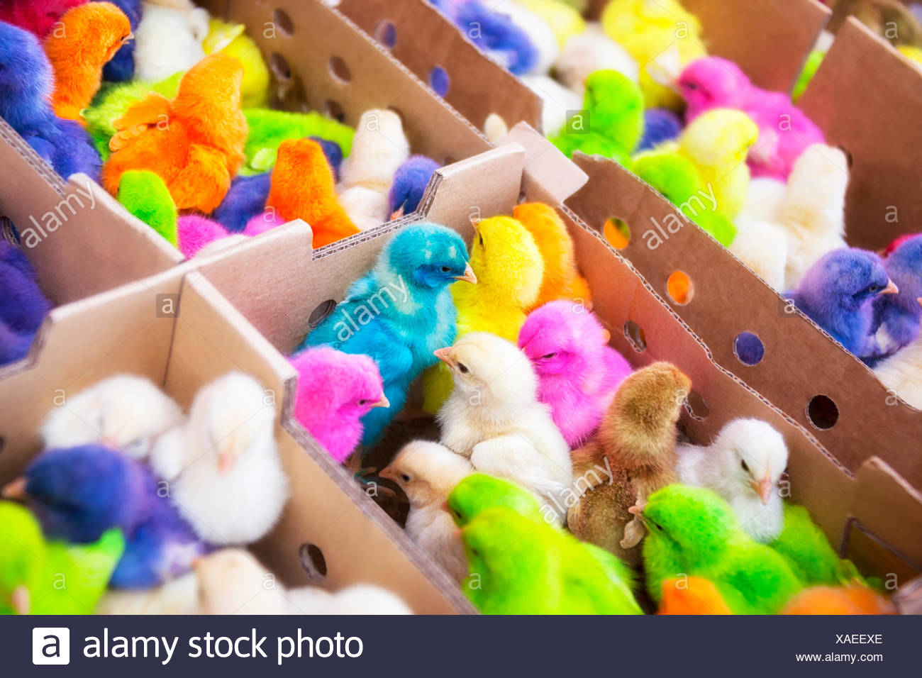 easter, funny, chicken, colorful, maddening, pert, coquettish, cute, - Stock Image