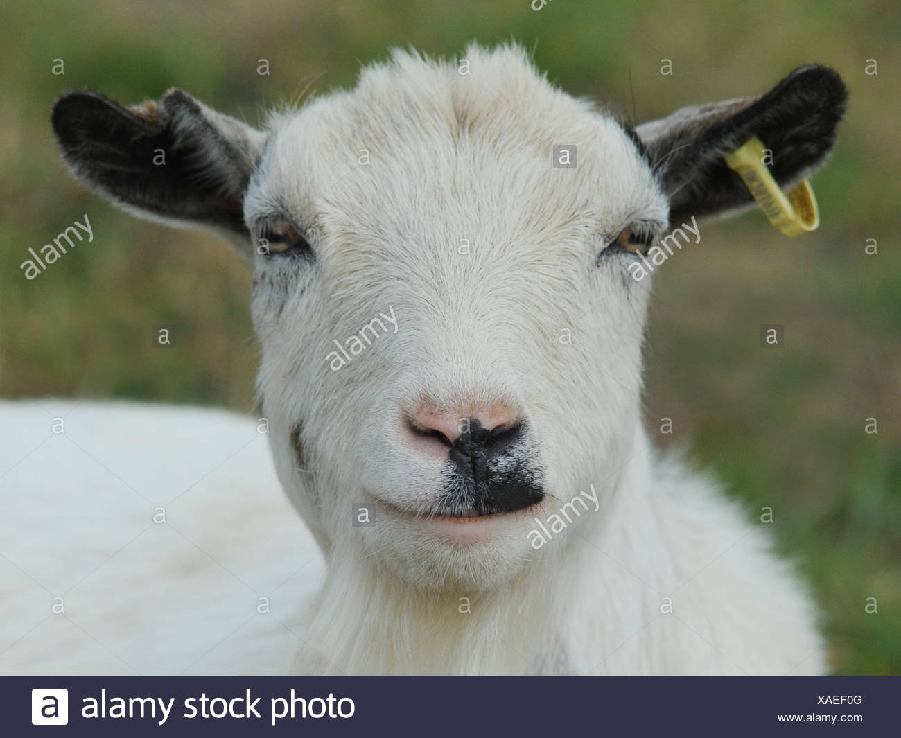 A happy billy goat smiling Stock Photo