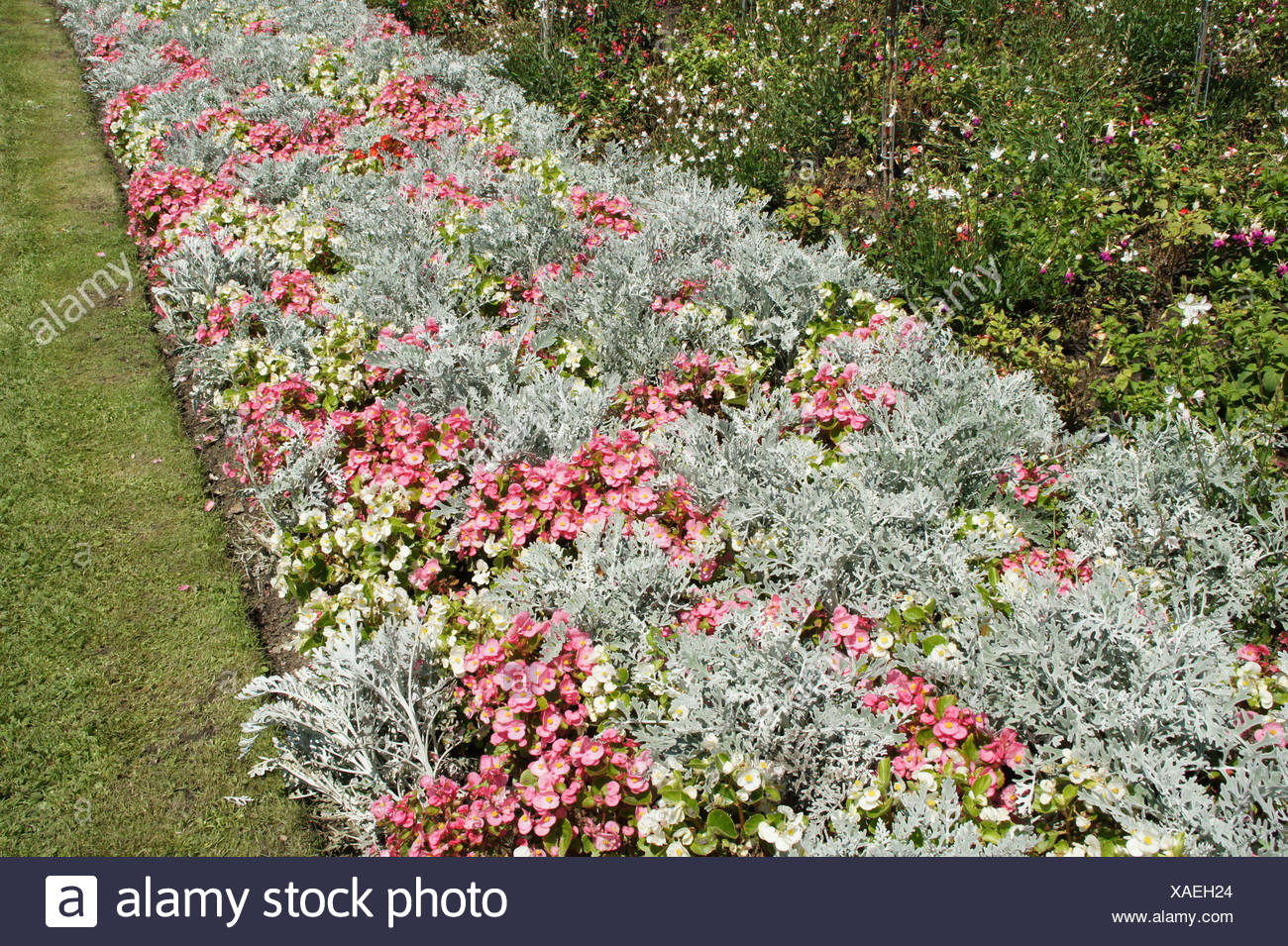 Dusty Miller And Begonia Stock Photos & Dusty Miller And
