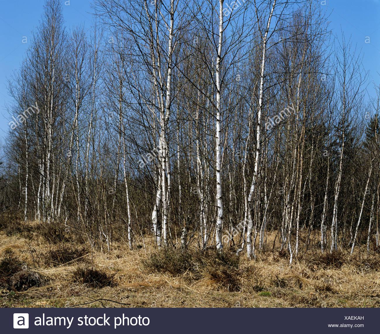 Murnau Moos, birch trees in spring, Murnau, Upper Bavaria, Bavaria, Germany, Europe - Stock Image