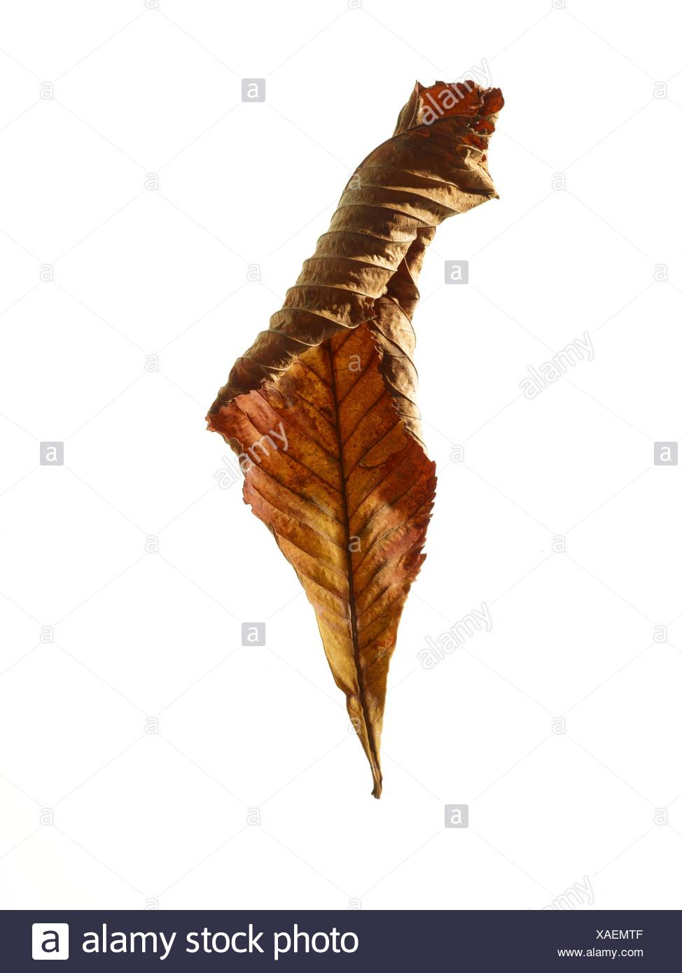 Horse chestnut (Aesculus hippocastanum) leaf, studio shot. - Stock Image