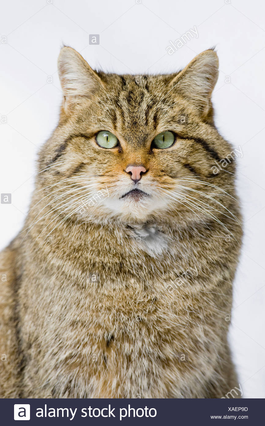 Wildcat (Felis sylvestris), portrait, close-up - Stock Image