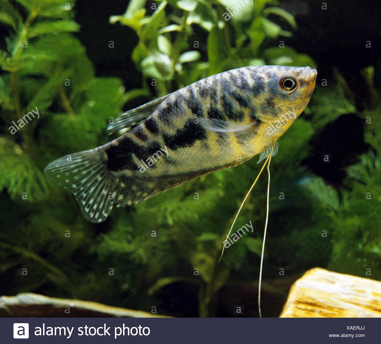 Blue Cosby Gourami, trichogaster trichopterus Stock Photo
