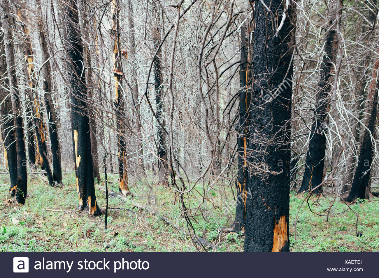 Recovering forest after extensive fire damage, near Wenatchee National Forest in Washington state. - Stock Image