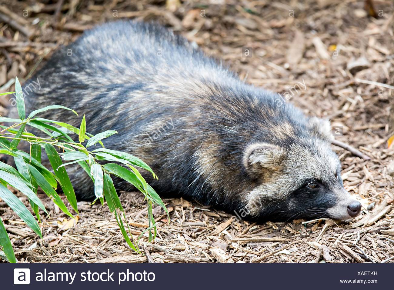 Cute Racoon Dog On Ground At Zoo