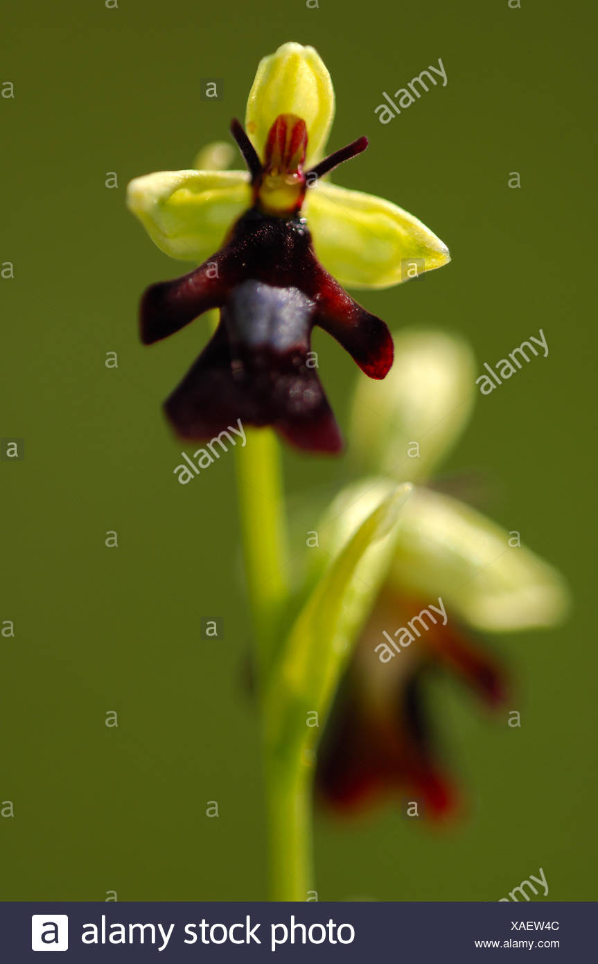 flowers fly orchid resemble flies in order to attract them fly thinks it seeing mate lands pollinates flower Smart flower! - Stock Image