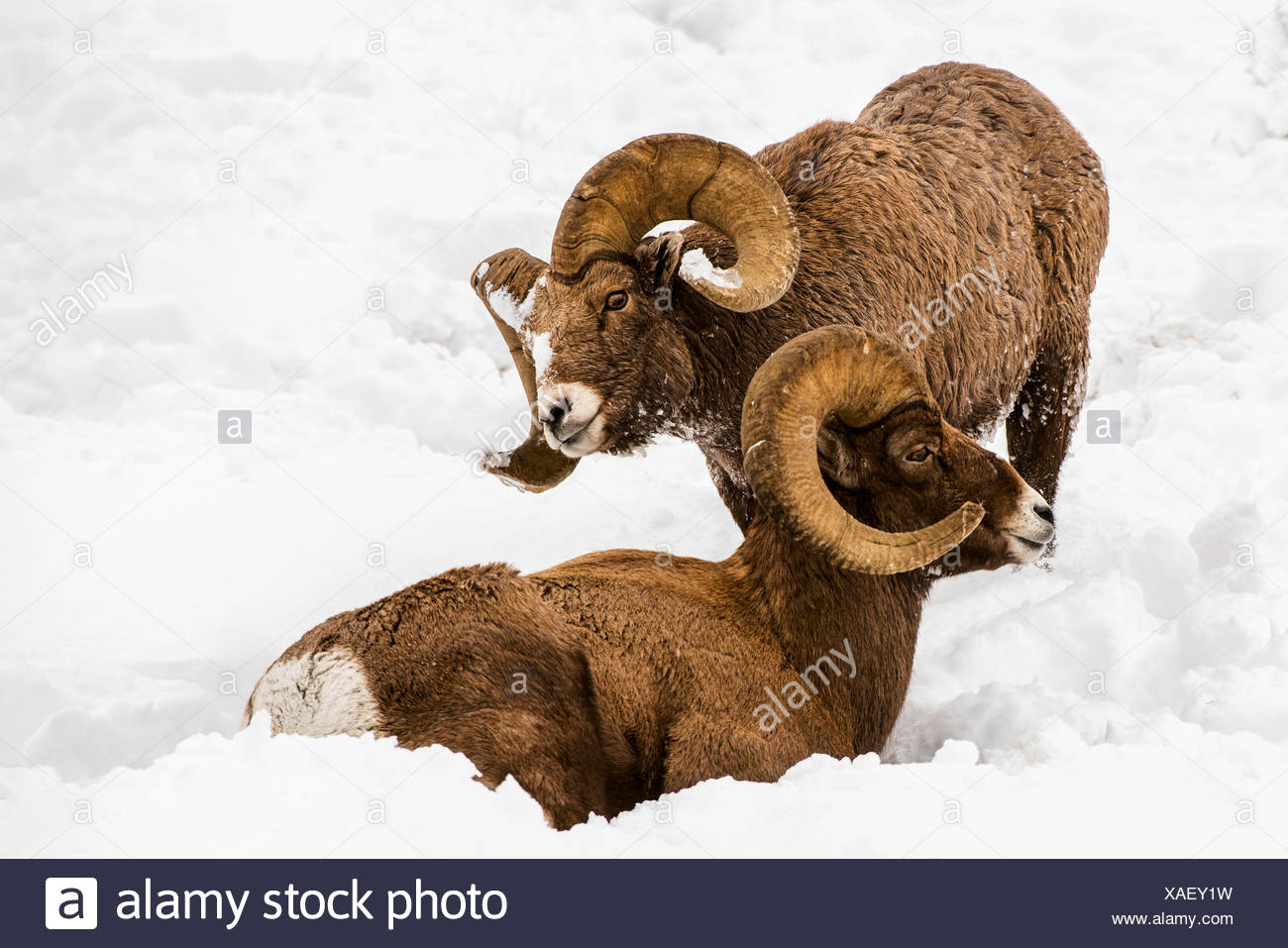 Large Bighorn Ram (Ovis canadensis) approaches another large Bighorn ram lying in the snow, Shoshone National Forest Stock Photo