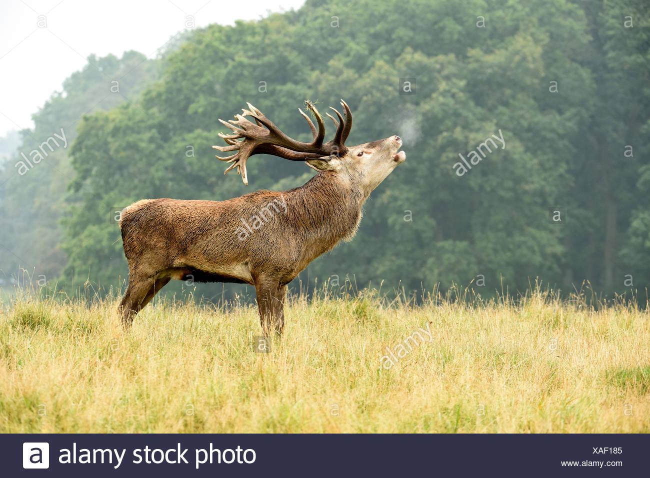 Red deer,rut - Stock Image