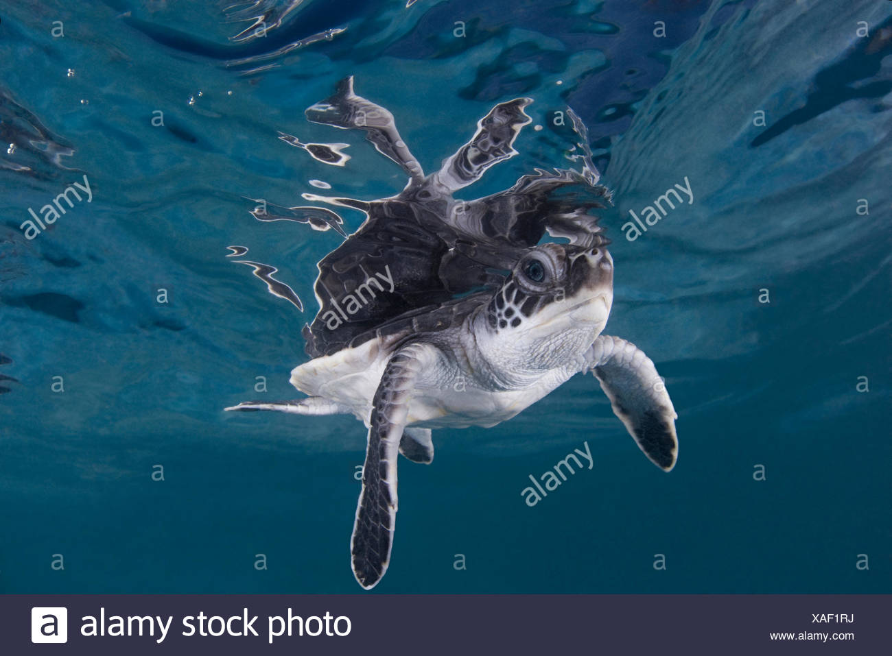 Green sea turtle (Chelonia mydas) hatchling swimming, Endangered, Caribbean, captive, digitally enhanced - Stock Image