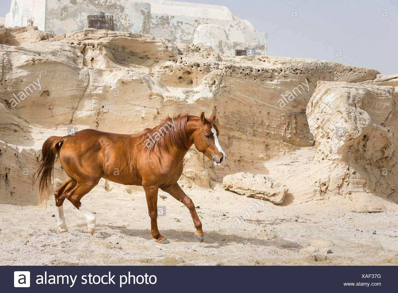 Arab Horse. Chestnut stallion walking on a beach with rocks in background. Tunisia Stock Photo