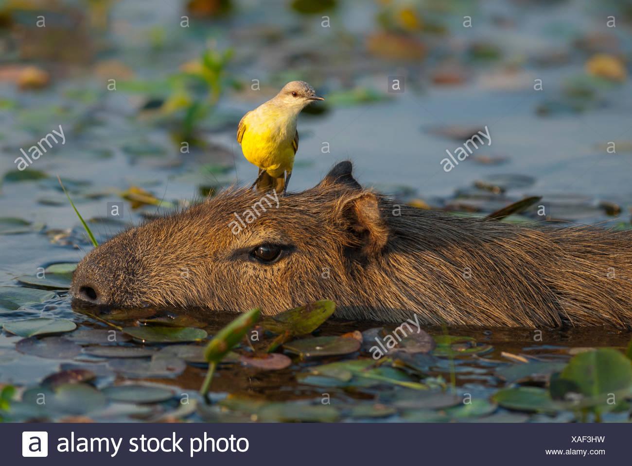 Cattle tyrant (Machetornis rixosus) perched on capibara¶ÿ (Hydrochoerus hydrochaeris)  Ibera Marshes, Corrientes Province, Argentina Stock Photo