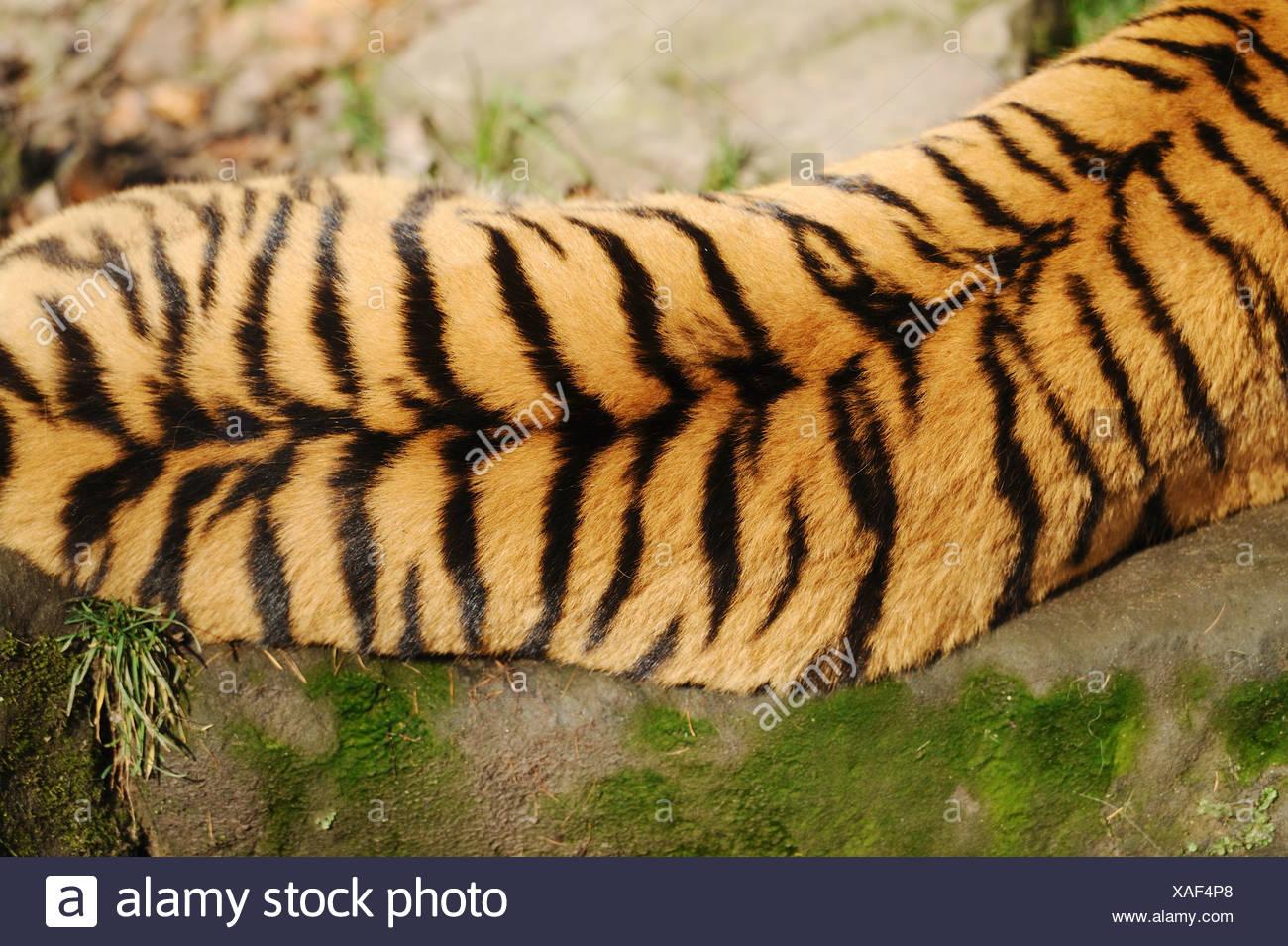 Siberian tiger - bird's-eye view / Panthera tigris altaica - Stock Image
