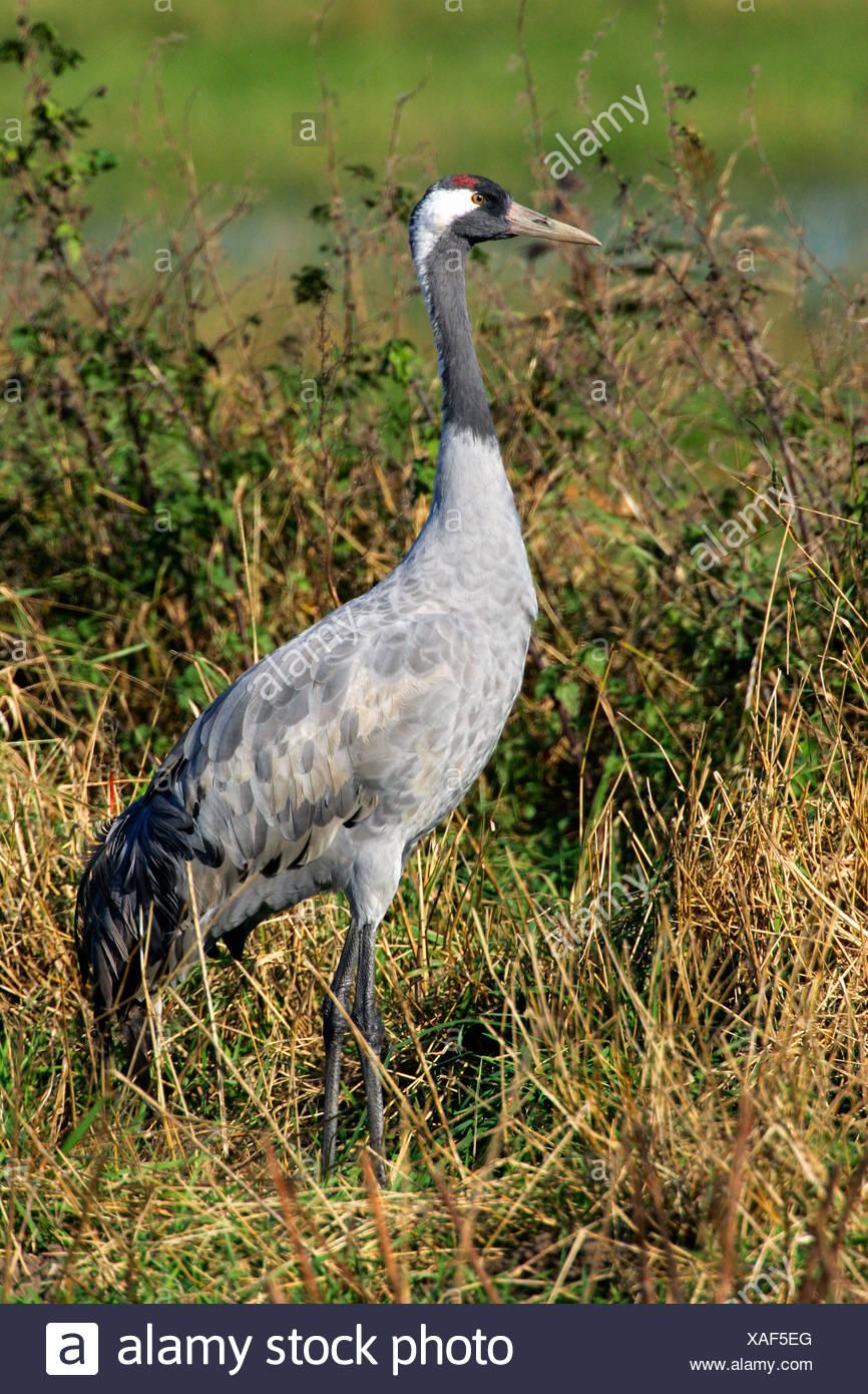 Common crane (Grus grus) - Vorpommersche Boddenlandschaft, Mecklenburg-Western Pomerania, Germany, Europe, Stock Photo