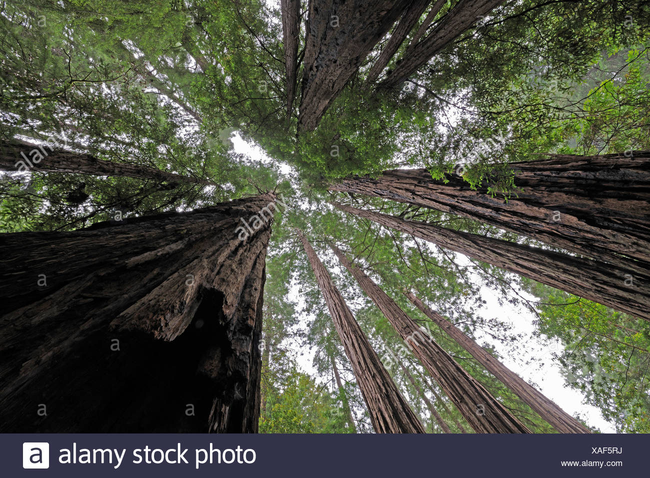 Vegetation and Coastal Redwoods (Sequoia sempervirens), Muir Woods National Park, California, USA, North America - Stock Image