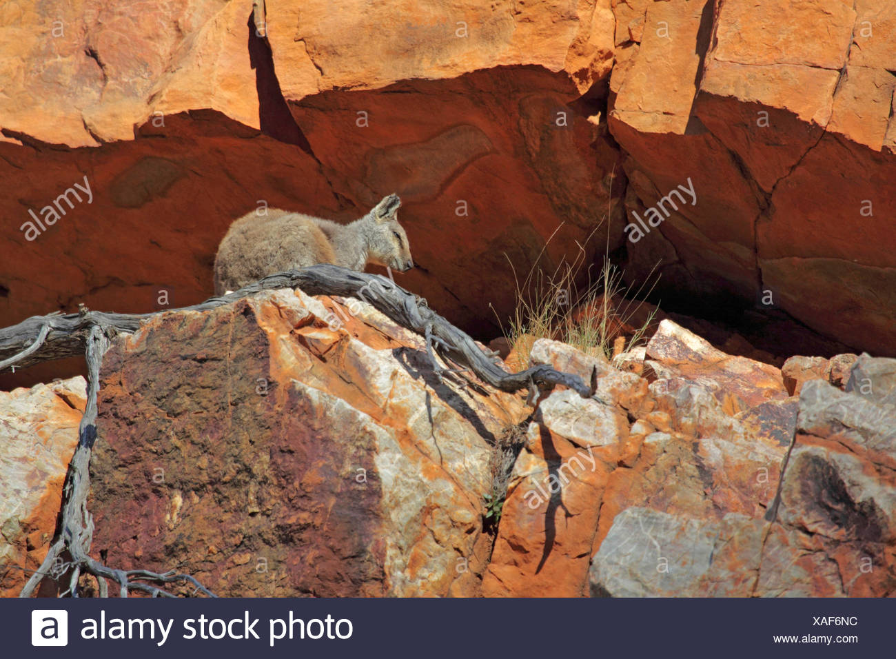 Black-footed rock wallaby (Petrogale lateralis), sitting in a rock crevice, Australia, Northern Territory, Western MacDonnell Ranges, Ormiston Gorge - Stock Image