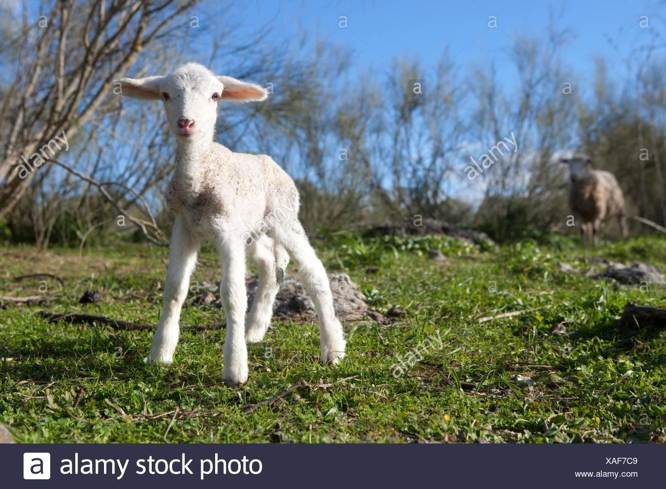 Baby lamb and her maternal watching mother, Extremadura, Spain. - Stock Image