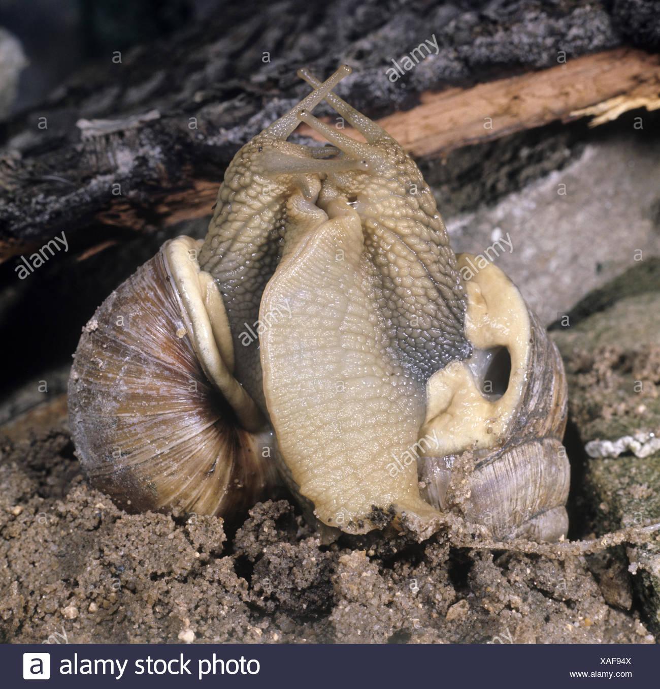 Roman Snail Courtship - Helix pomatia - Stock Image