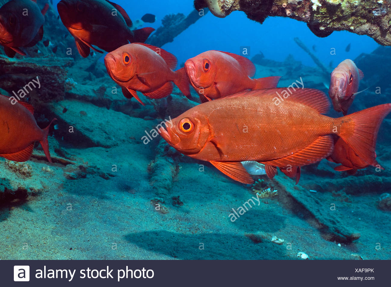 Big Eye Fish Priacanthus Hamrur Stock Photos & Big Eye Fish ...