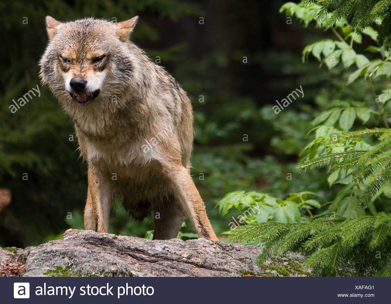 wolf on rock Stock Photo