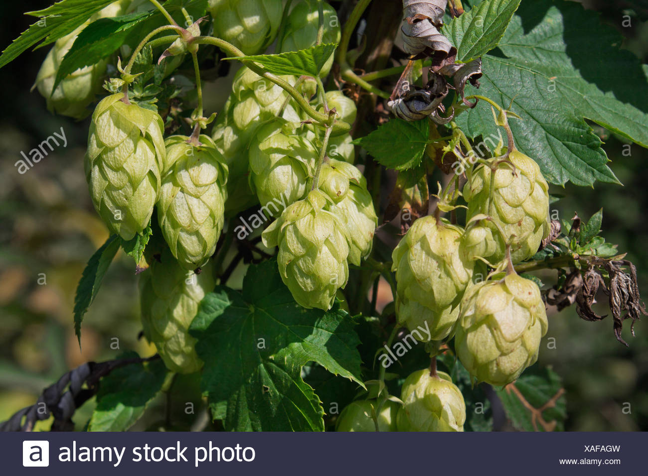 clusters of hop cones on a branch close up - Stock Image