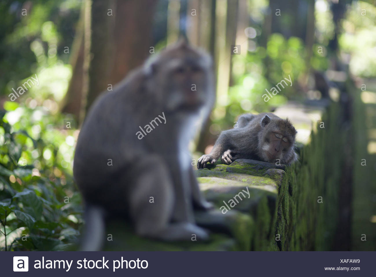 Long-Tailed Macaques On Wall - Stock Image