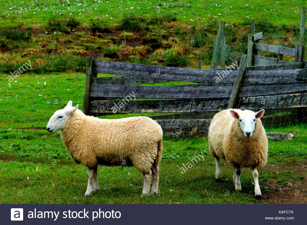 Sheep Standing By Fence On Grassy Field - Stock Image