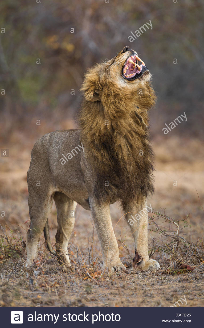 A large male lion, Panthera leo, exhibiting flehman response. - Stock Image