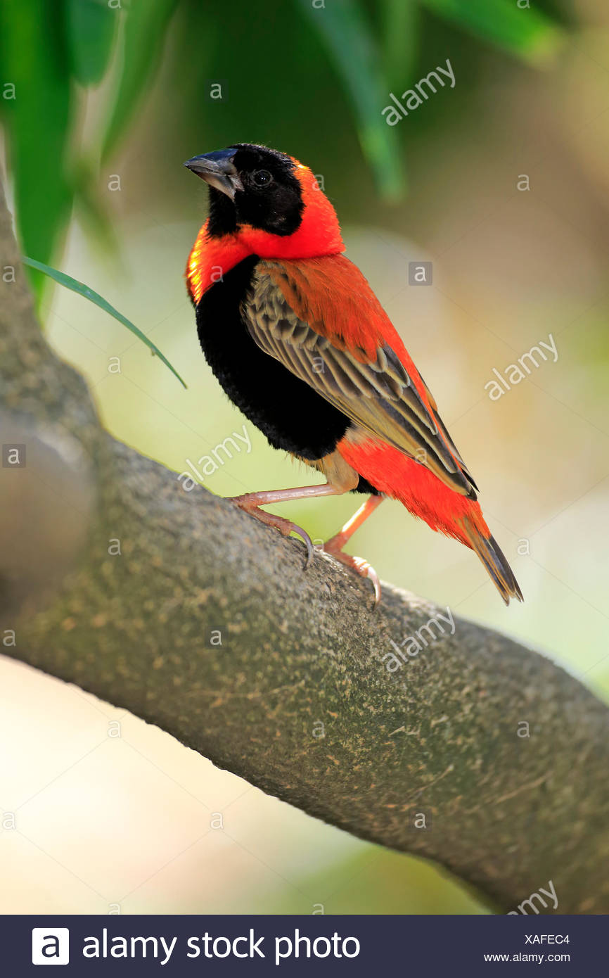 Red Bishop, Western Cape, South Africa, Africa / (Euplectes orix) - Stock Image