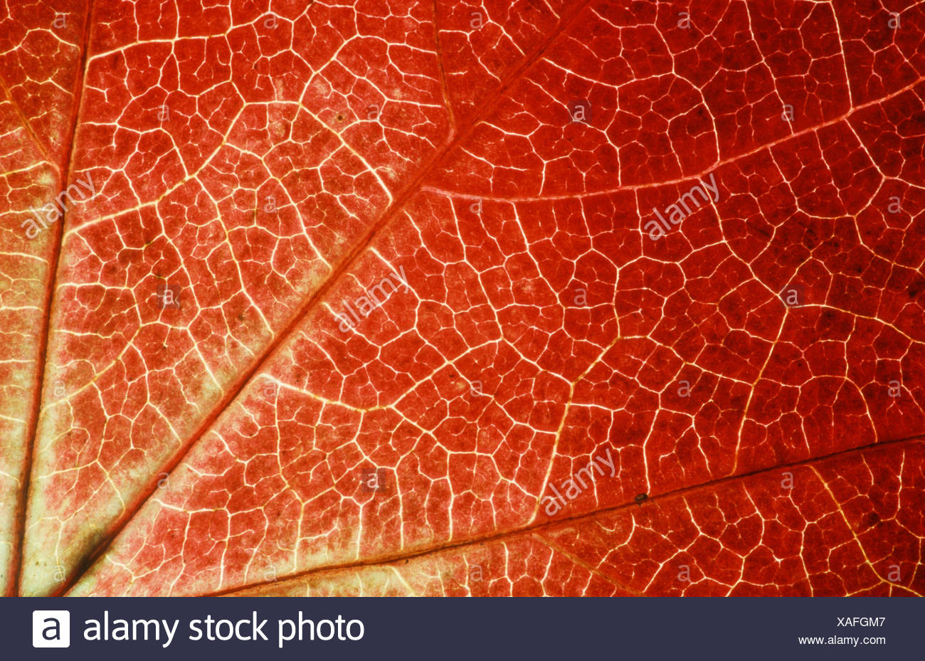 Boston Ivy leaf detail in autumn Parthenocissus tricuspidata veitchii Wilder Wein Blattdetail im Herbst Weinrebengewaechse Stock Photo