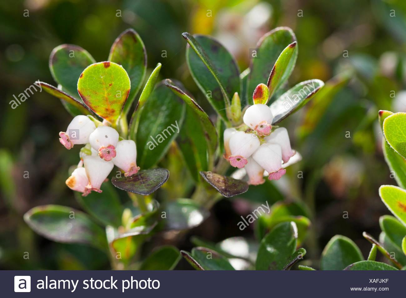bearberry (Arctostaphylos uva-ursi), blooming, Germany - Stock Image
