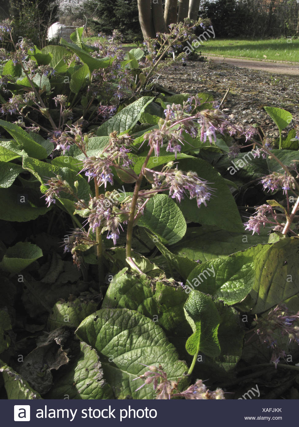 Abraham, Isaac and Jakob (Trachystemon orientalis), blooming - Stock Image