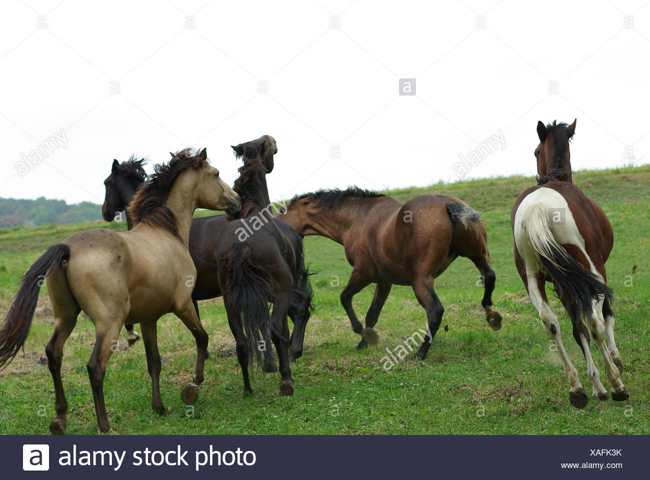 Horses Rank fights - Stock Image