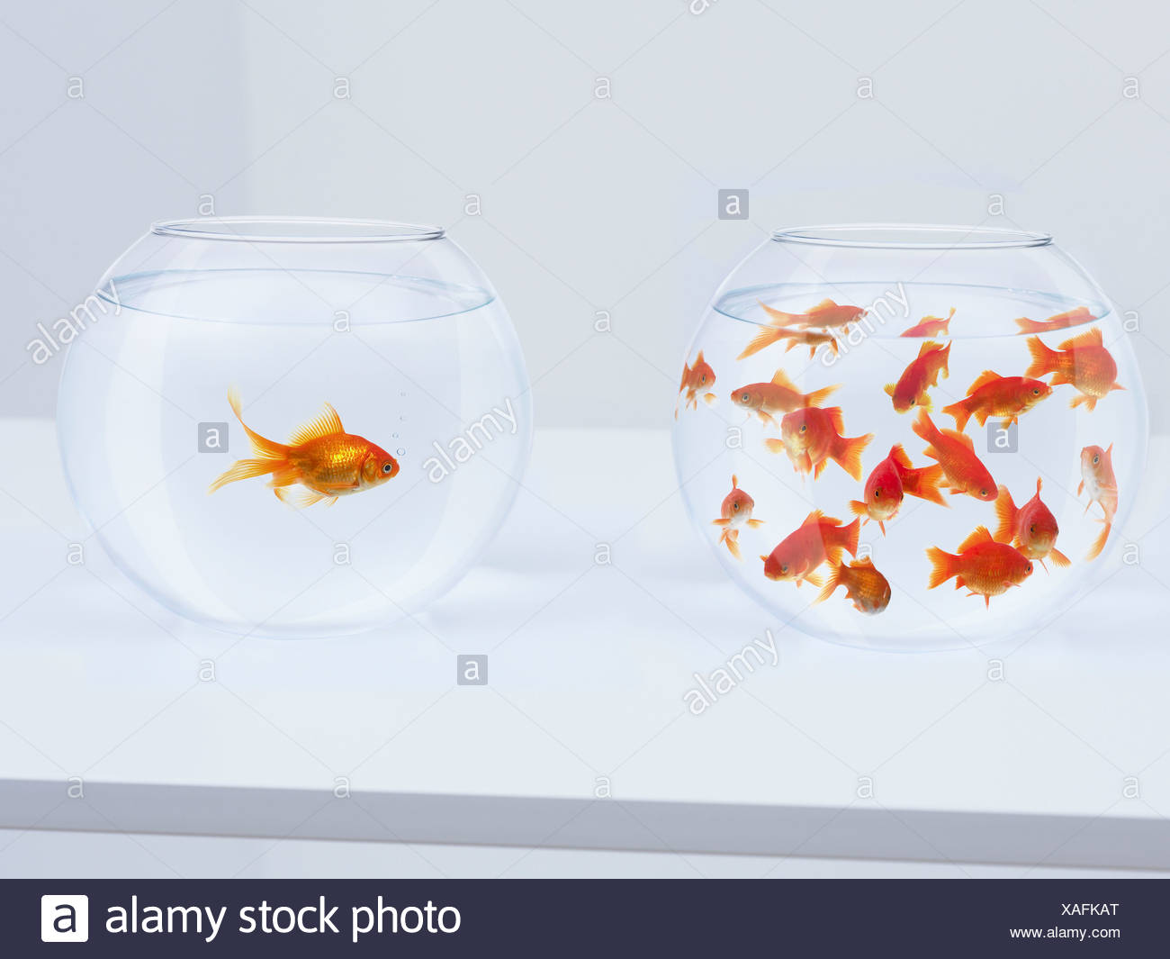 Contrast of  many goldfish in fishbowl and solitary goldfish in opposite fishbowl - Stock Image