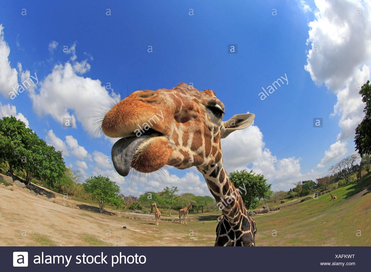 Reticulated Giraffe, adult portrait, Africa / (Giraffa camelopardalis reticulata) - Stock Image