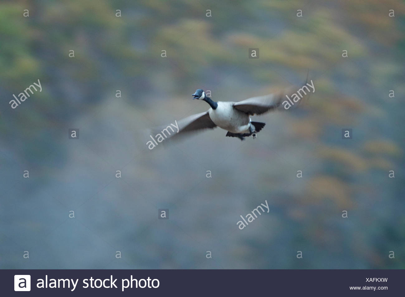 Blurred wings of Canada Goose, Branta canadensis, in flight. - Stock Image