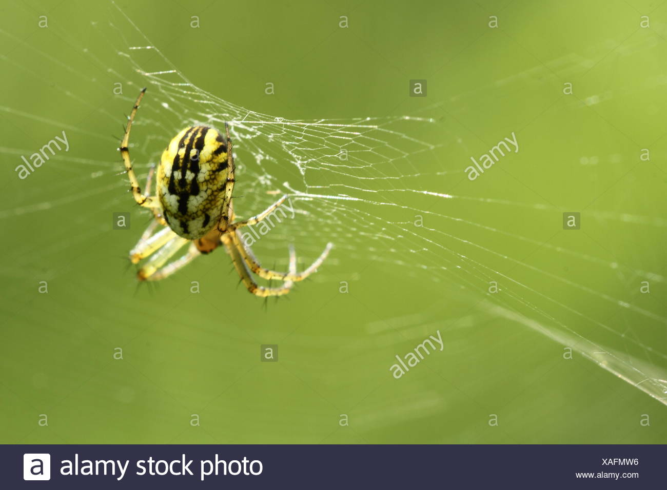 Female cricket-bat orb weaver - Stock Image