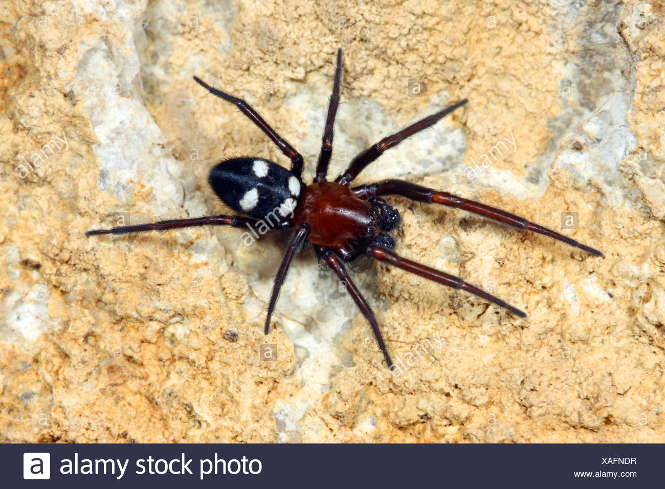 white-eyed spider, window lace-weaver (Titanoeca obscura), male sitting on a stone - Stock Image