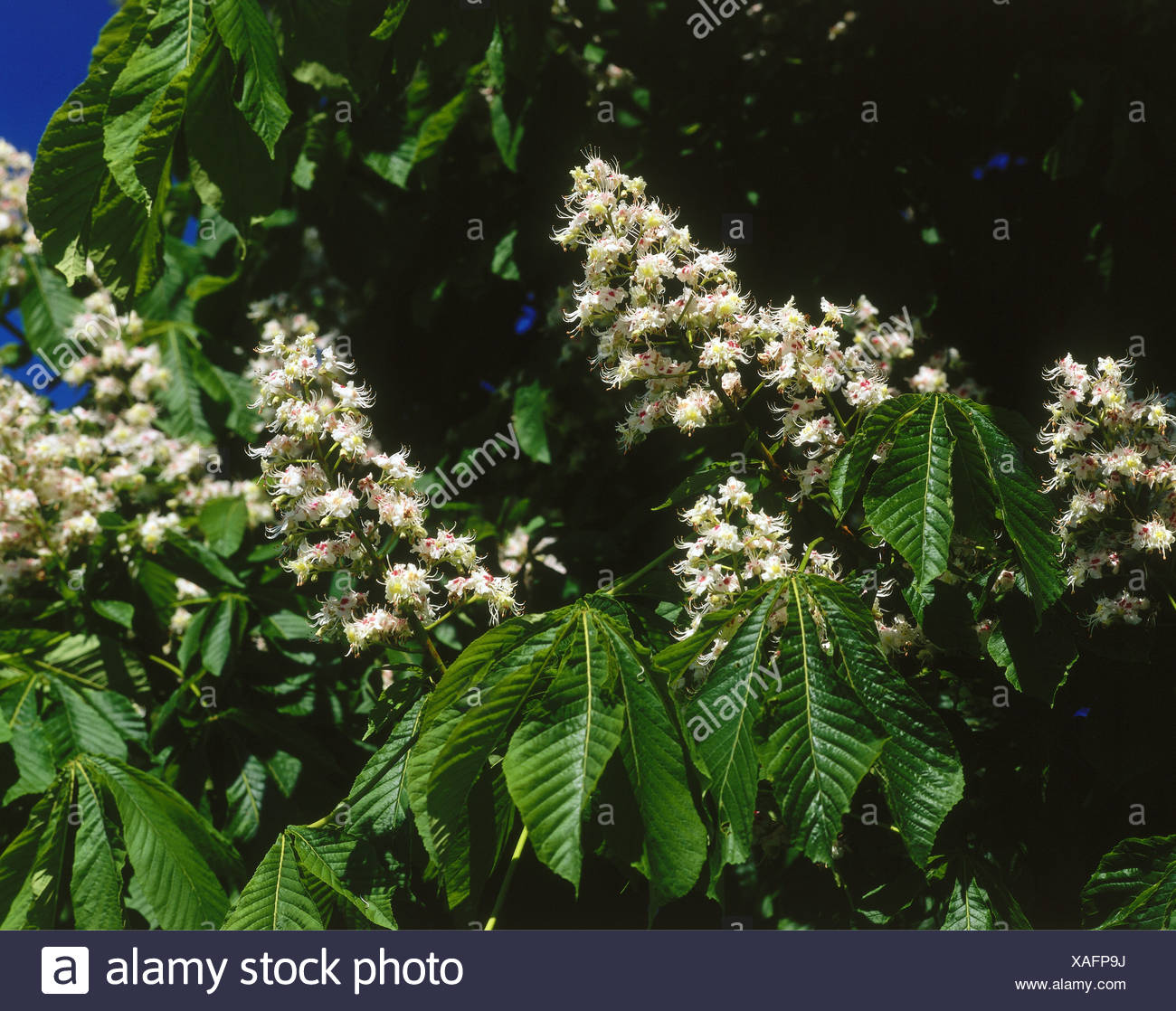 botany, chestnut, (Castanea), blossoms, Additional-Rights-Clearance-Info-Not-Available - Stock Image